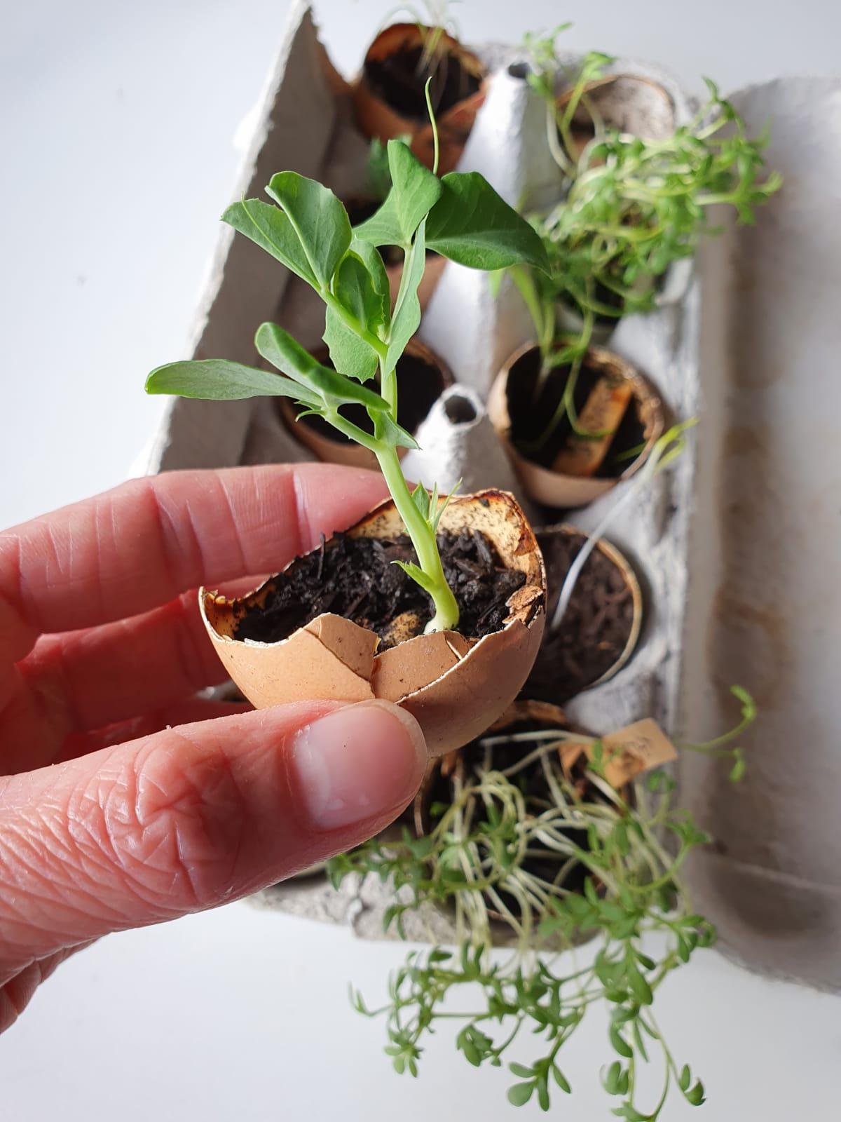 Hånd som holder en grønn plante, sådd i eggeskall. I bakgrunnen: Forskellige grønne vekster plantet i eggeskall. Foto.